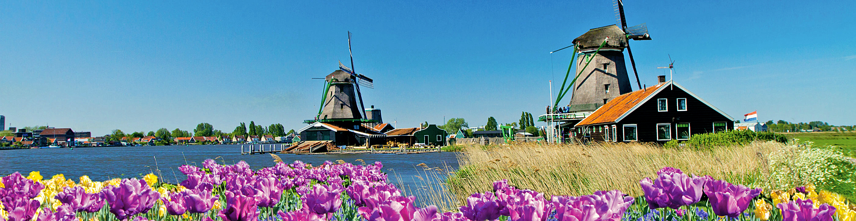 tulip fields and windmill Holland springtime